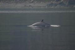 pilot_whale
